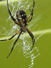 Yellow garden spider I found in my backyard a couple of years ago