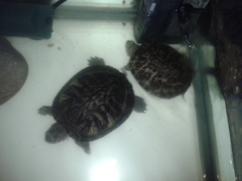 My daughter's turtles - Tuck (the lil' one) and Tree-o